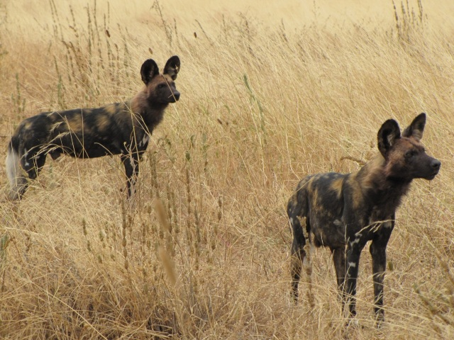 Manyara Ranch - Wild Dogs