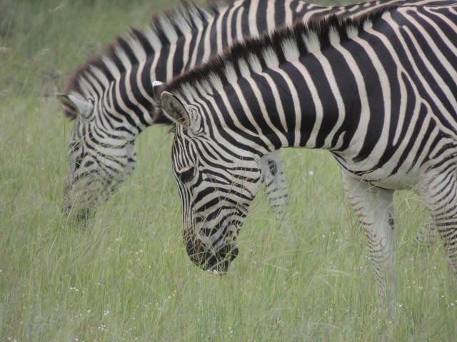 Elephant's Eye, Zebra