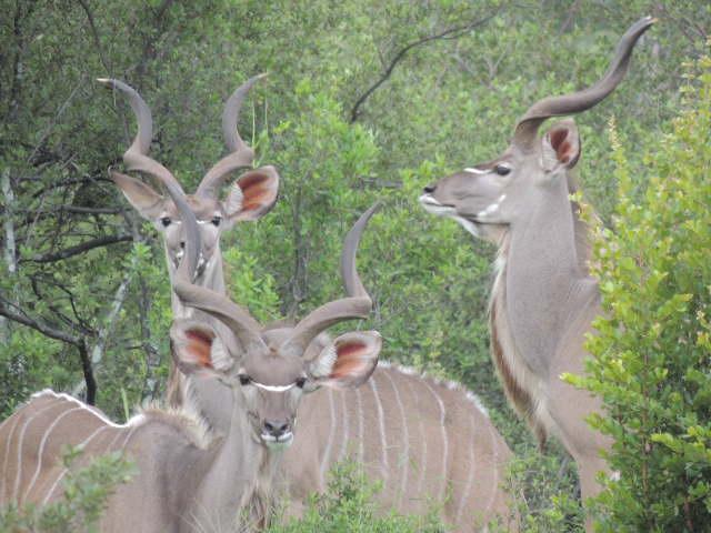 Elephant's Eye, Kudu