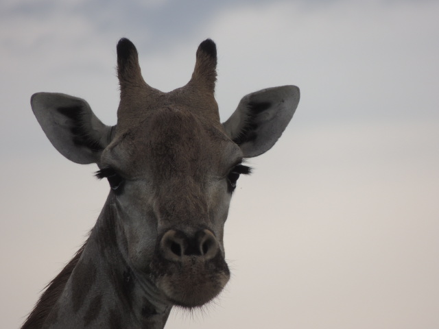 Elephant's Eye, Giraffe