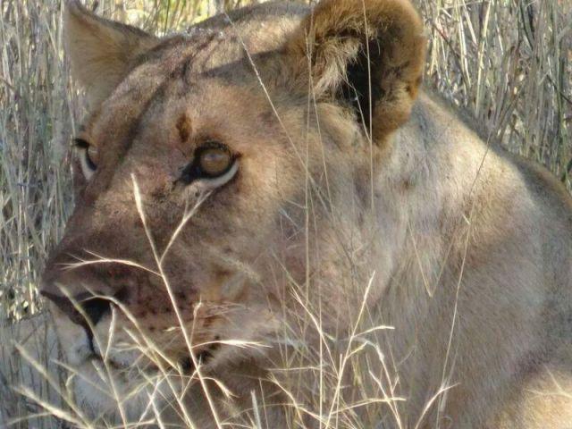 Elephant's Eye Lions